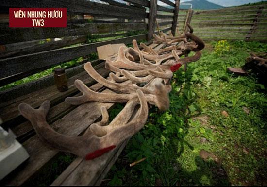 Nhung hươu còn non và bắt đầu phân làm hai nhánh có hình dạng giống yên ngựa