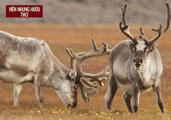 Nhung hươu đỏ Maral Siberia có nhiều điểm khác biệt với nhung hươu sao Việt Nam