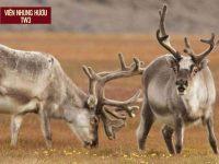 Điểm đặc biệt của nhung hươu Siberia – Mua nhung hươu Siberia ở đâu?