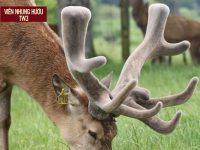 Nhung hươu rừng chính là phần sừng non chưa bị xương hóa của con hươu rừng đực