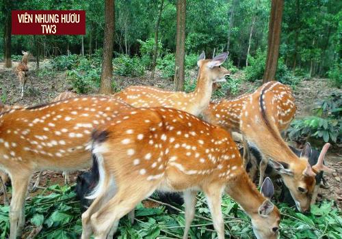 Hươu sao Hương Sơn được nuôi chăn thả bán tự nhiên