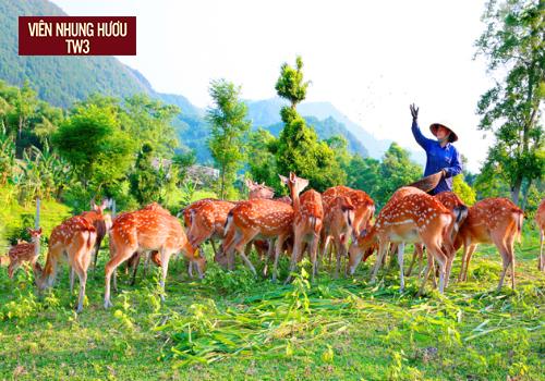 Đàn hươu sao Hương Sơn được chăn thả tự nhiên sử dụng thức ăn từ thảm thực vật phong phú của địa phương