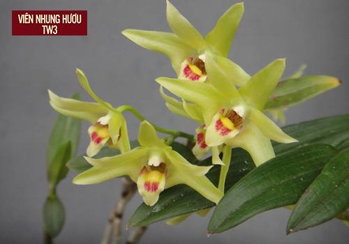 Thạch hộc - một loại thảo dược quý, một loại hoa đẹp