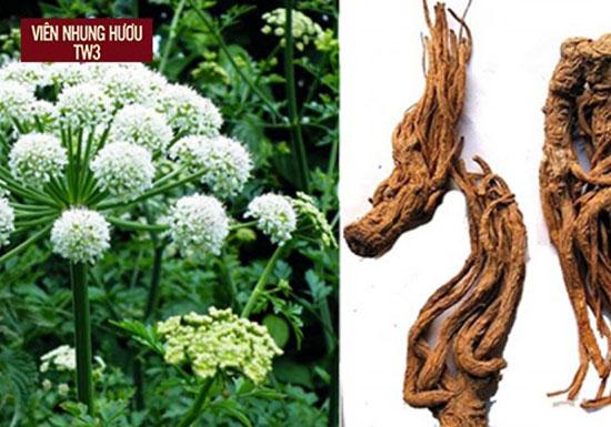 Đương quy là một loại thảo dược mạnh gân cốt xuất hiện nhiều ở Trung Quốc