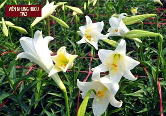 Sử dụng hoa loa kèn trắng trong bài thuốc bổ cho người già mất ngủ